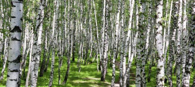 Бреза – национално дрво Русије